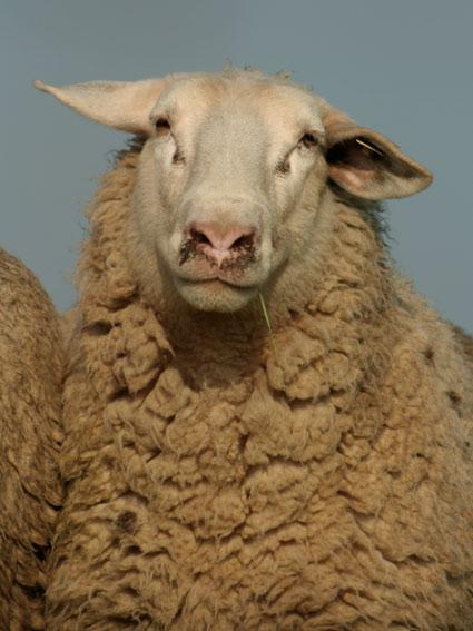 Powell_sheep01