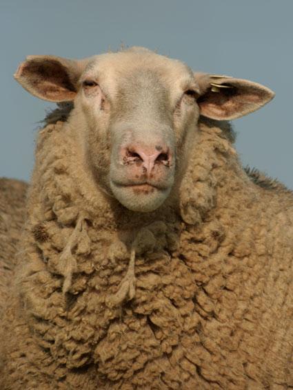 Powell_sheep02