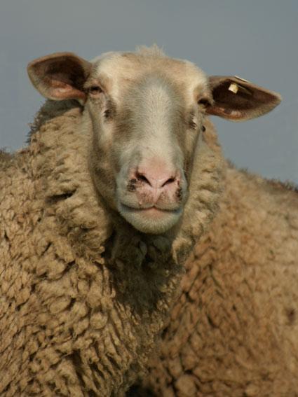 Powell_sheep03